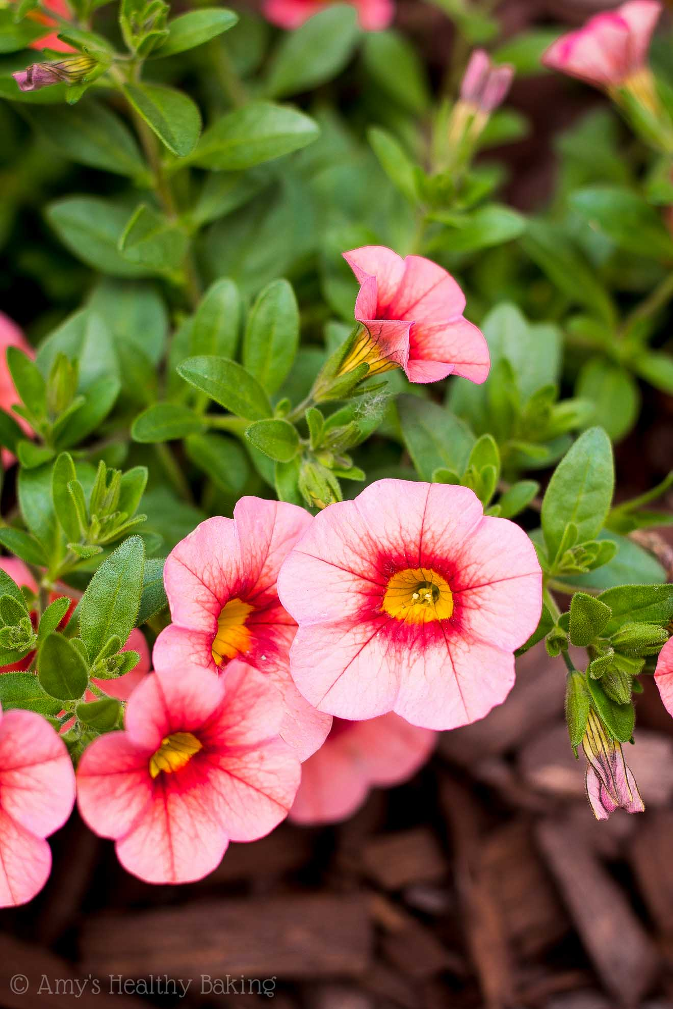 zone 9 part-sun superbells pink flowers for San Diego patio planter boxes