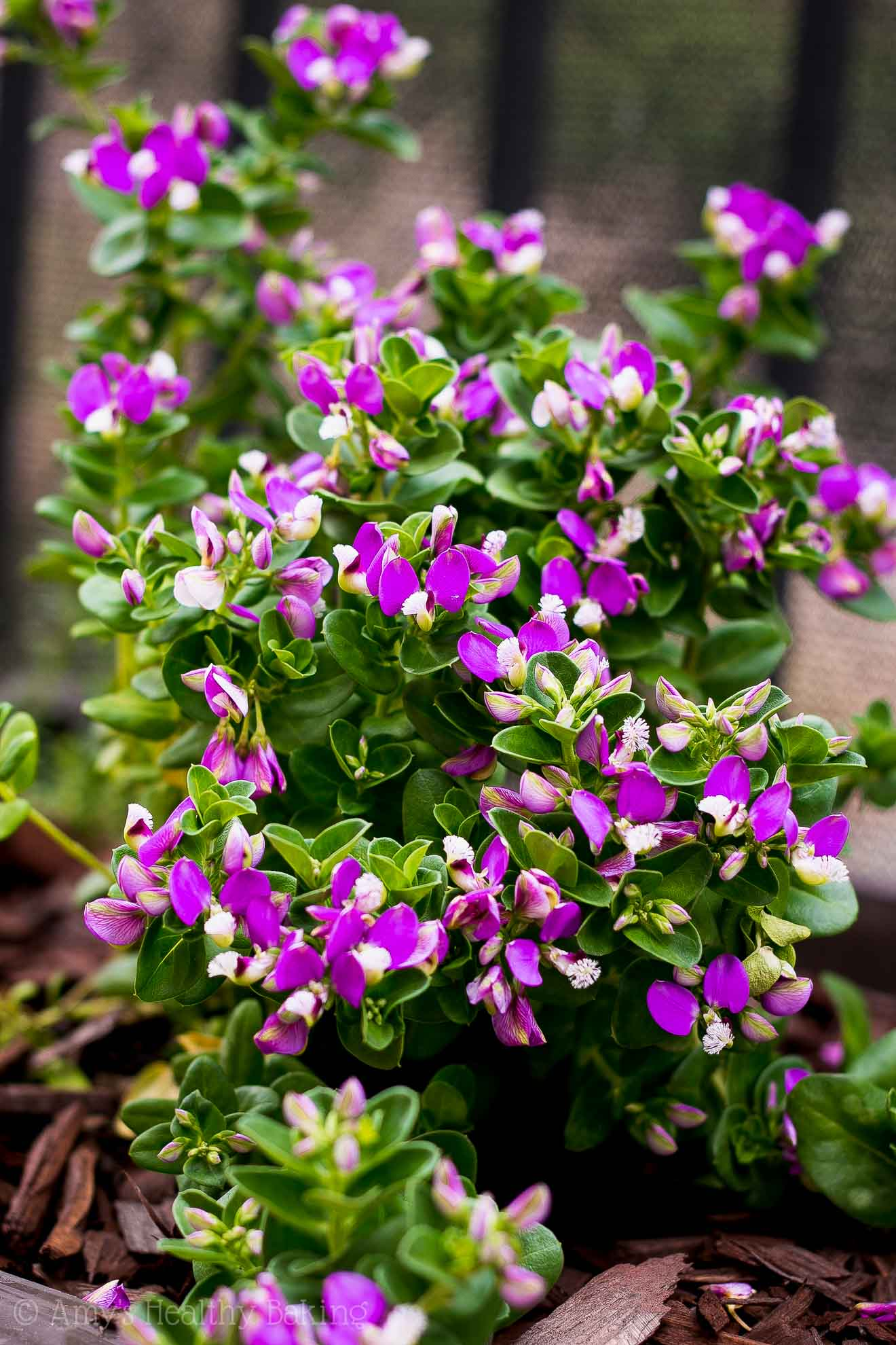 zone 9 drought-tolerant sweet pea shrub for planter boxes
