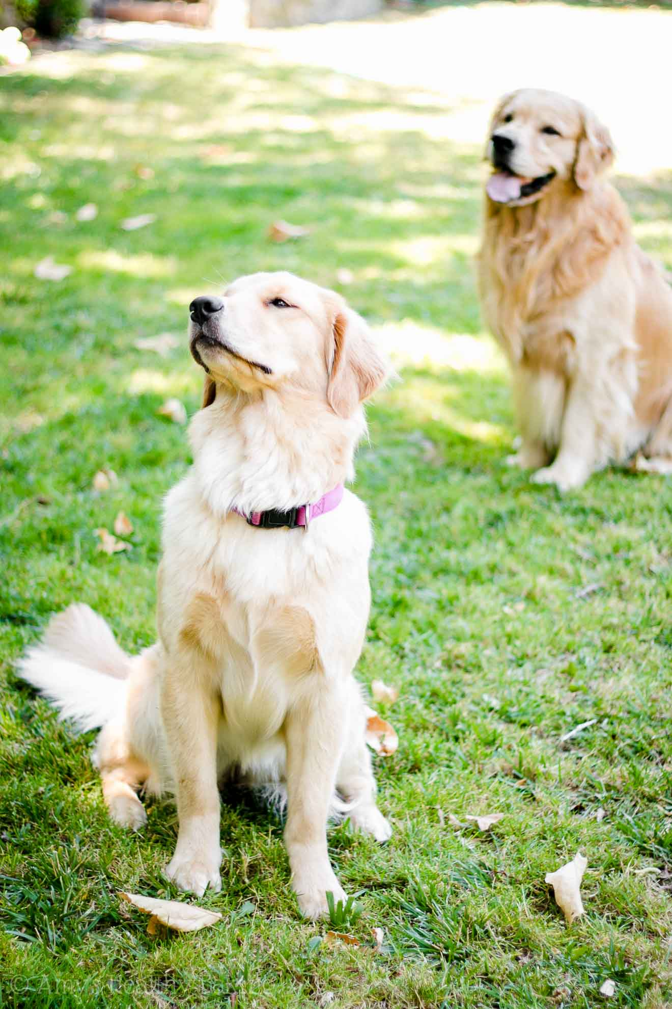 A relaxing weekend in Northern California with our two golden retriever dogs