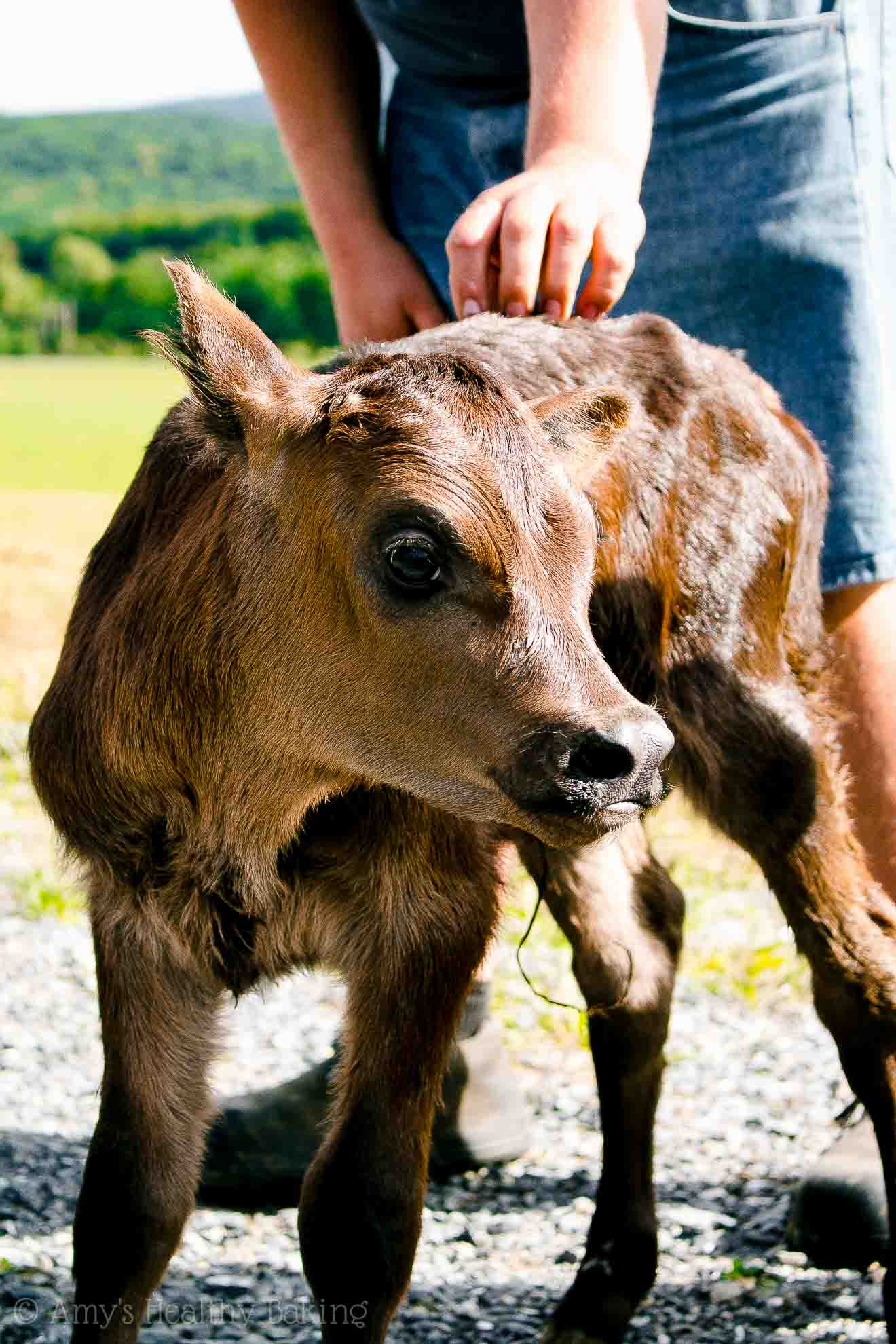 An hours-old calf at the High Meadows Organic Dairy Farm in New York