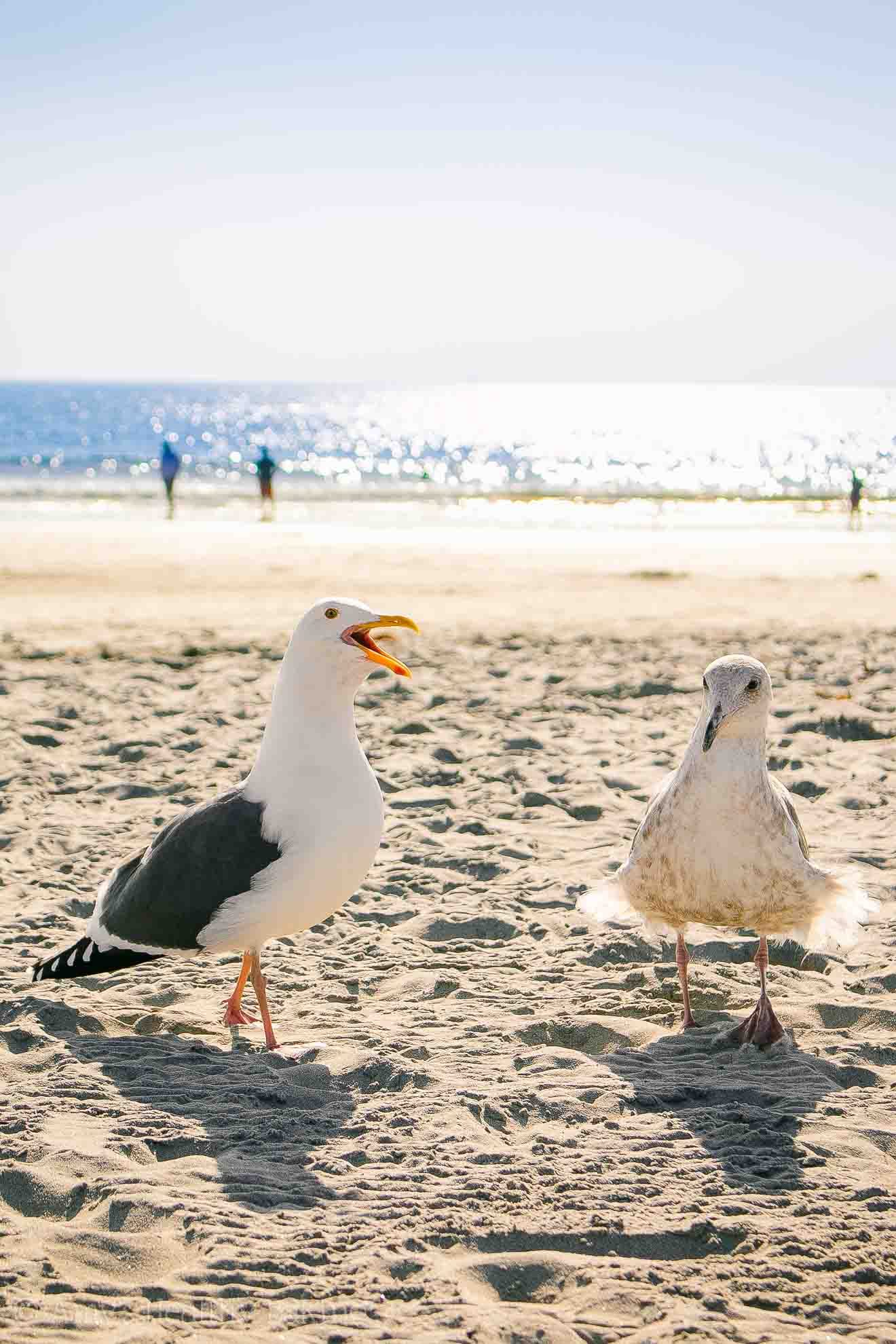 Seagulls & beautiful weather at the Coronado Beach in San Diego in November