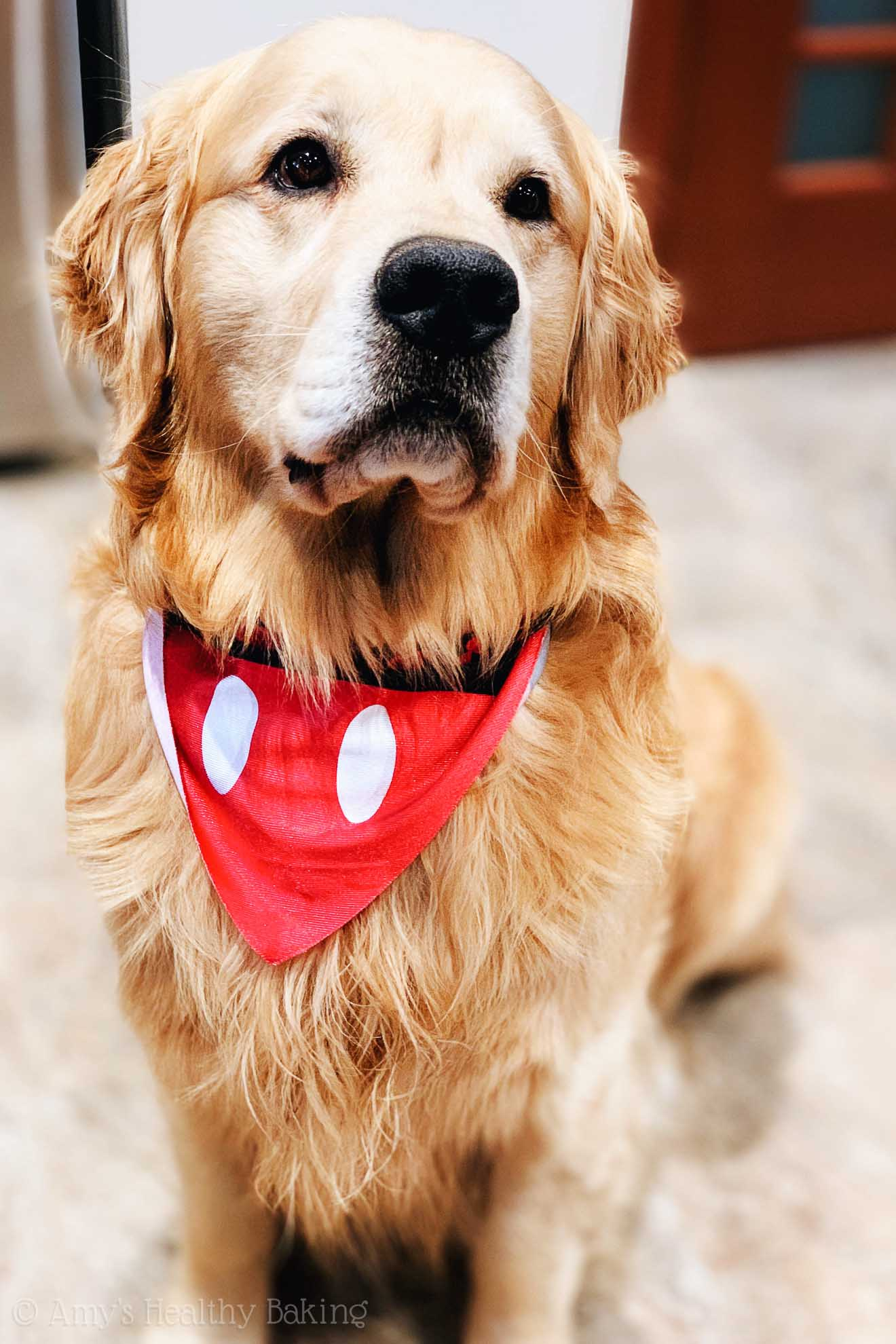 Golden retriever wearing a Mickey Mouse bandana