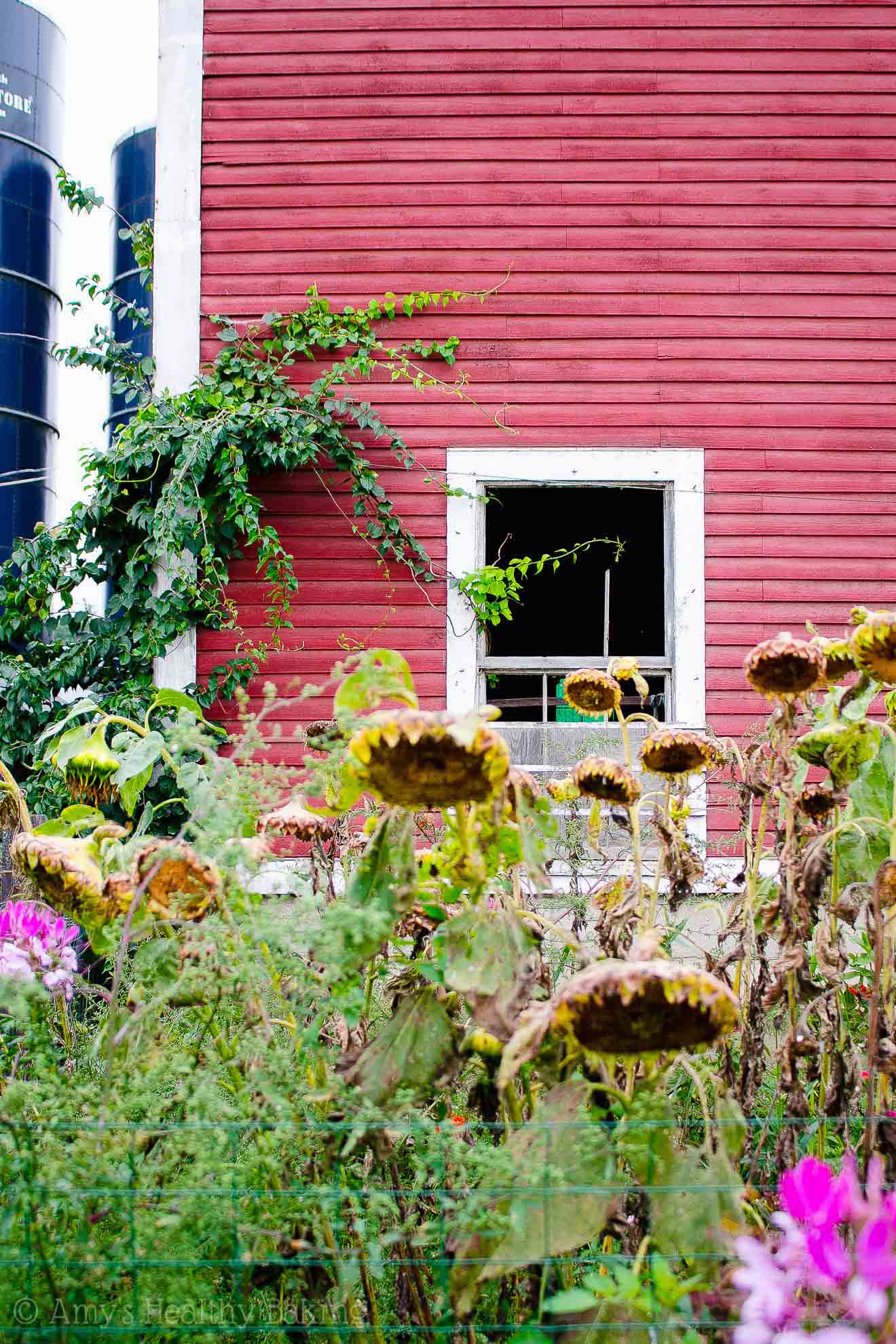 a red barn sitting behind a garden of tall sunflowers